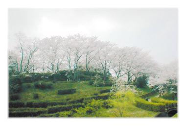 さくらの風景